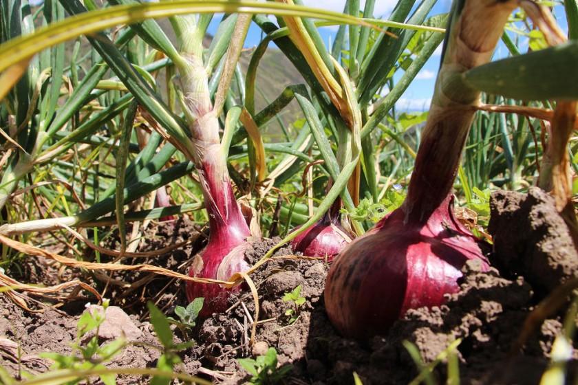 La cebolla que consumimos en Bolivia proviene del Perú. internet