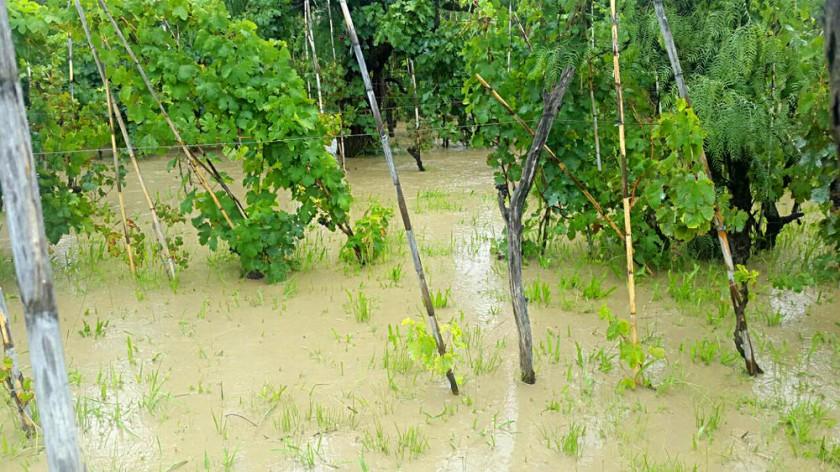 IMPACTO. Plantaciones de uva afectadas.