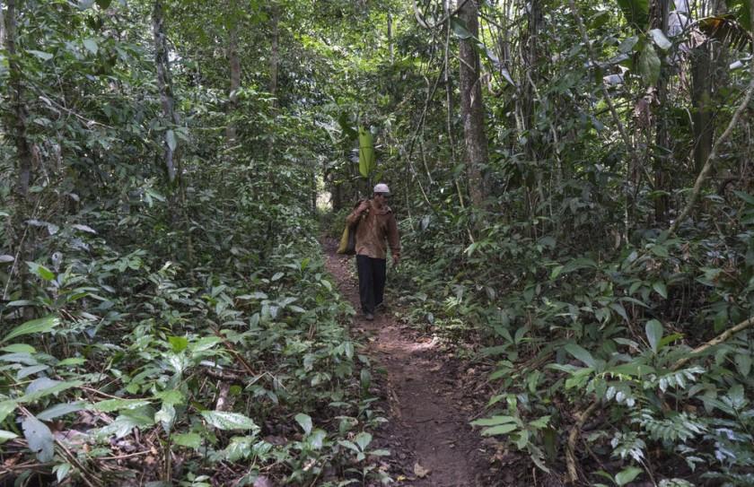 Un campesino recolecta cocos o frutos del árbol de la castaña, en la localidad Gonzalo Moreno.