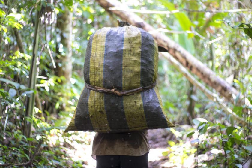 Un campesino transportando frutos del árbol de la castaña, en la localidad Gonzalo Moreno.
