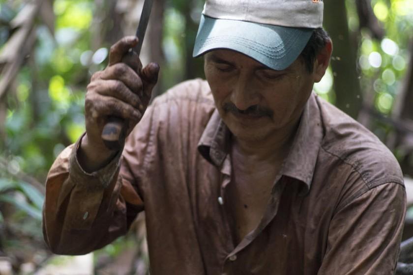 Recolectando cocos o frutos del árbol de la castaña en Gonzalo Moreno.
