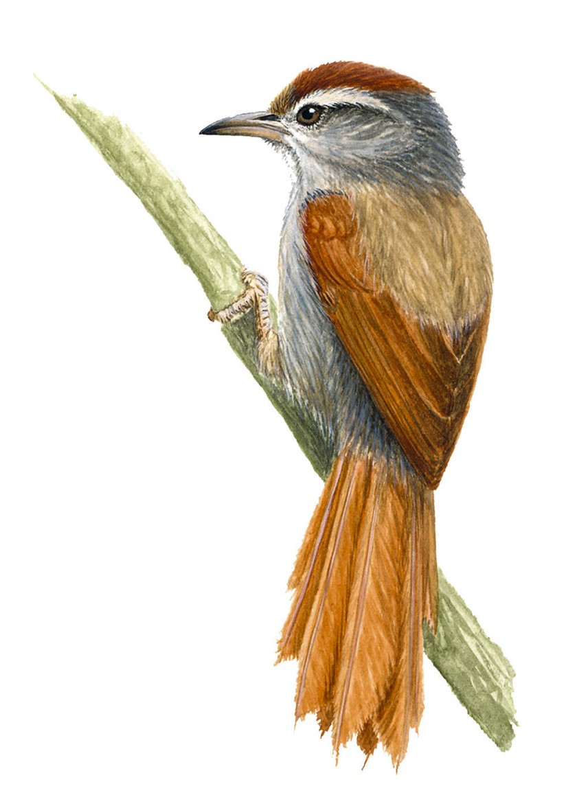Colaespino boliviano. Habita  los valles Secos Interandinos de Cochabamba, Santa Cruz, Chuquisaca y Potosí.