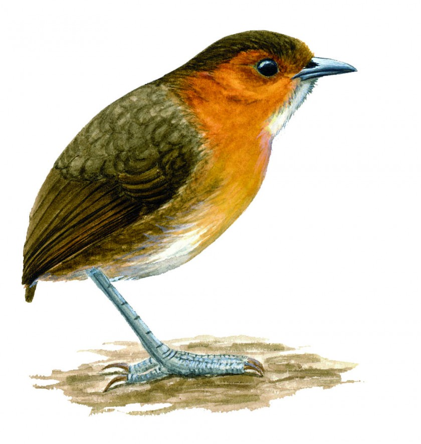 Monterita de Cochabamba. Habita el Bosque de Kewiña de Cochabamba, Potosí y Chuquisaca.