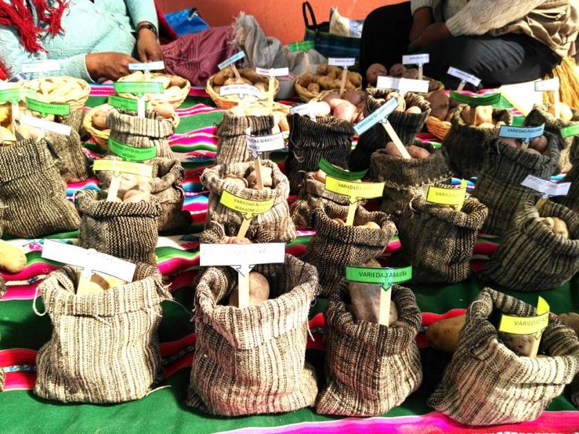 Una variedad de papas nativas en exposición en Betanzos, Potosí. CAPITALES