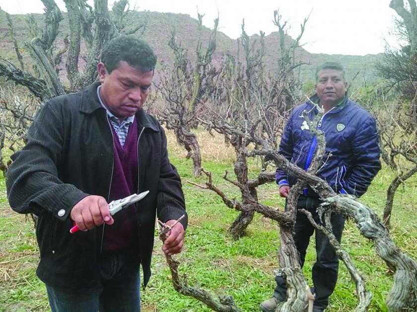 EXPERIENCIA. La poda de una cepa en la viña San Roque de Camargo.