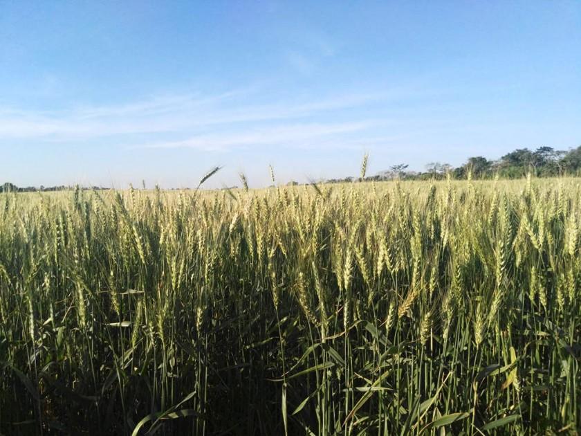 producción de trigo en la propiedad 5 Estrellas mientras que