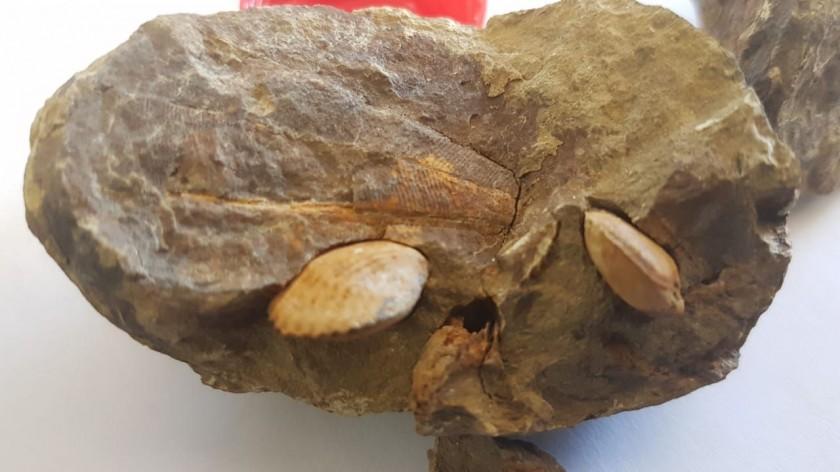 FOSILIZADOS. Los braquiópodos y las conularias encontrados en el cerro de la Aguada en Incahuasi.
