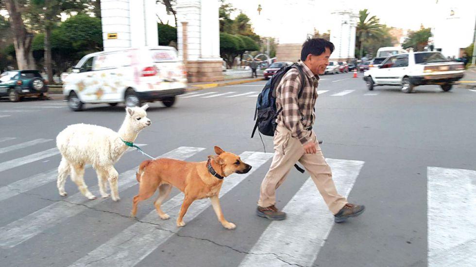 Un residente japonés tiene de mascota a una alpaca