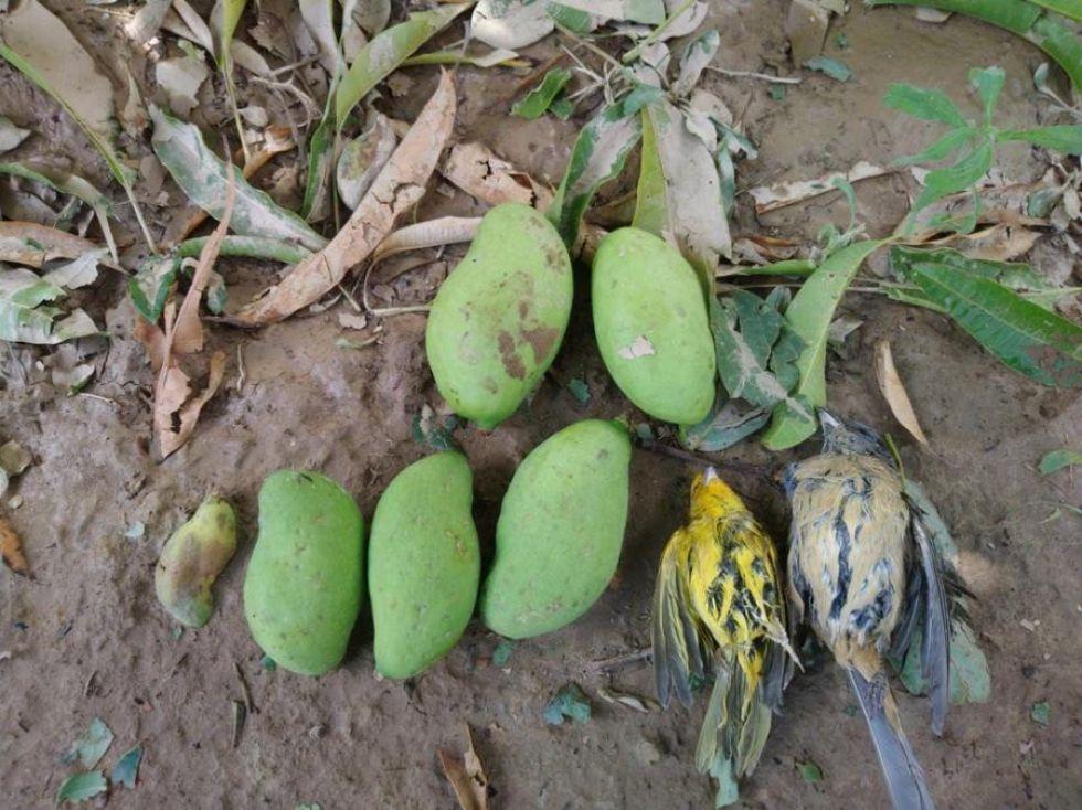 Los árboles de mango quedaron seriamente afectados en la comunidad de Guadalupe.